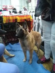 belgian shepherd for sale ireland belgian malinois owners in ireland home facebook