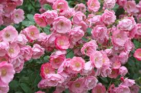 pruning and training climbing roses step by step