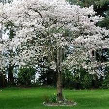 ornamental trees aumann s