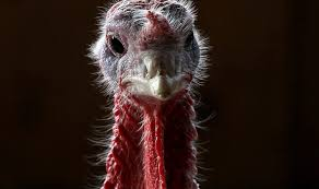 teddy the turkey pardoned at island s historic milleridge inn