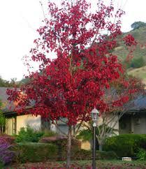 flowering pear drought tolerant trees san diego