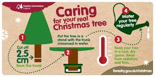 caring for your christmas tree england