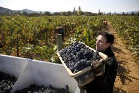 agricultural journalism jobs ukiah inmates harvest grapes in mendocino county