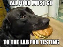 Black Lab Meme - all food must go to the lab for testing black labrador retreiver