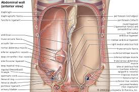 Anatomy Of Body Muscles Abdominal Cavity Anatomy Britannica Com