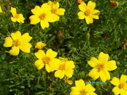 edible flowers edible flowers are eaten for culinary and medicinal uses