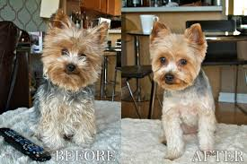 yorkie hair cut chart yorkie puppy cut google search dogs pinterest yorkie puppy