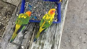 parrot eating sunflower seeds on a tray on a wooden chair stock
