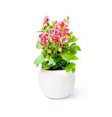 dalia in vaso pianta variopinta fiore della dalia in vaso su backgroun