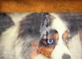 grooming a australian shepherd about marlowin aussies toy aussie puppies for sale