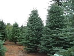 trees planet abies grandis u2013 grand fir