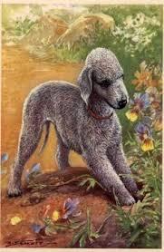 bedlington terrier stud bedlington terrier frankie saw this and said