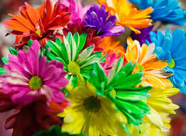dyed daisies use any white flower but daisies and carnations
