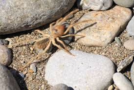 15 arachnophobic facts about camel spiders mental floss