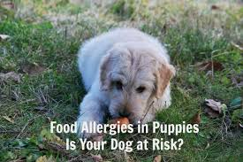 food allergies in puppies and dogs does your puppy have an allergy