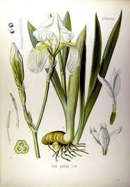 Florence Flag Beschreibung Der Drei Irisarten Bei Köhler Veilchenwurzel