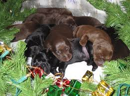 puppy thanksgiving hunterscreek retrievers expands akc labrador services offering