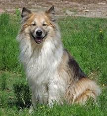 australian shepherd collie mix australian shepherd husky mix puppy love u003d pinterest