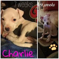 american pitbull terrier 4 weeks pit bull breed information and photos thriftyfun