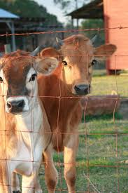 166 best cows images on pinterest animals farm animals and
