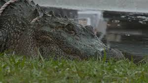 Alligators In Georgia Map Bucktown Alligator May Have Come From Bonnabel Canal Wwltv Com