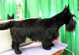 scottish yerrier haircuts pet grooming the good the bad the furry a scottie makeover