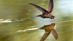 common nighthawk audubon field guide