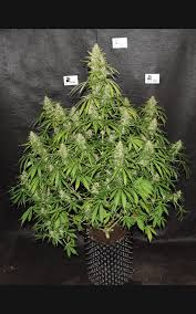 northern lights yield indoor northern lights auto from seed stocker autoflower seeds with xl