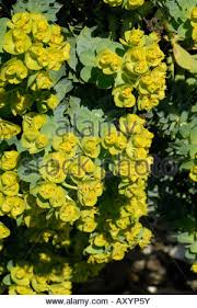 flowering spurge euphorbia myrsinites an ornamental rock plant