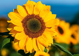 sunflower free pictures on pixabay