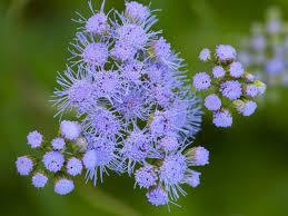 texas native plants list what u0027s in season lady bird johnson wildflower center