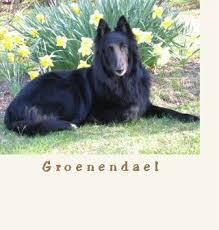 belgian sheepdog height 44 best belgian shepard sheepdog groenendael images on pinterest