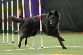 belgian sheepdog california isengard belgian sheepdogs u2013 breeding versatile belgian sheepdogs