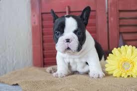belgian sheepdog breeders indiana marilyn yoder dog breeder