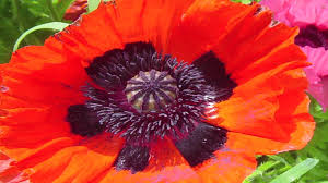 gardening lessons different types of poppy plants youtube