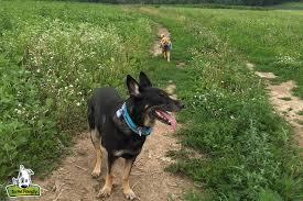 australian shepherd off leash my dogs are afraid of your off leash dog winnebagolife