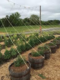 Mulching Vegetable Garden by Great Ideas From A Community Garden Birmingham Gardening Today