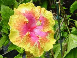 which state has a hibiscus fancy hibiscus tm america u0027s premier hibiscus web site