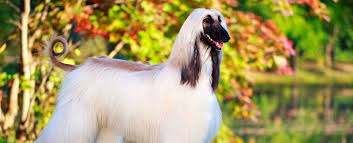 afghan hound weight afghan hound dog breed info characteristics traits personality