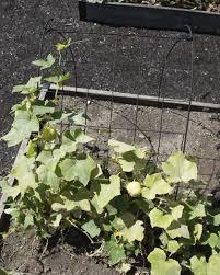 cucumber trellis 24