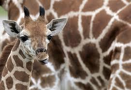 imagenes de amistad jirafas las jirafas ayuda amistad gabitos