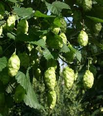 55 best hops images on hops plant brewing and fields
