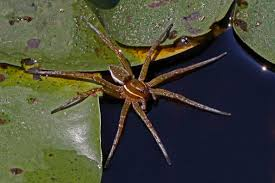 Maryland Wildlife images File six spotted fishing spider dolomedes triton patuxent jpg