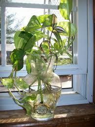 How To Design Flowers In A Vase How To Grow Pothos Devil U0027s Ivy In Water Dengarden