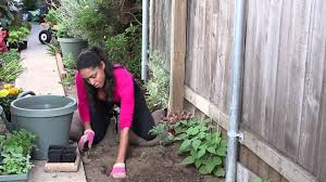 how to plant marigolds to protect tomatoes the chef u0027s garden