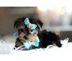 affenpinscher puppies for sale in ohio best 25 yorkshire terrier for sale ideas only on pinterest