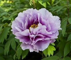 Japanese Flowers Pictures - japanese peony paeonia suffruticosa flower cultivar flowers