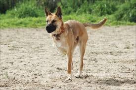 belgian shepherd oregon new hope for treating osteosarcoma on the horizon whole dog journal