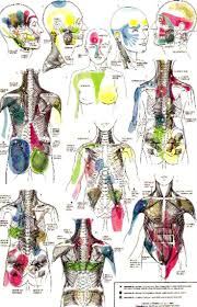 Anatomy And Physiology Saladin 6th Edition 1326 Best Muscles Images On Pinterest Physical Therapy Trigger