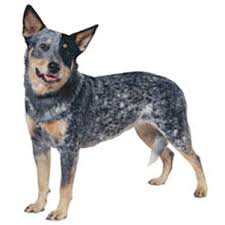 australian shepherd outline australian cattle dog dog breed information continental kennel club